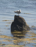 Seagullen vaggar på Arkivfoto