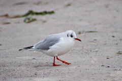 Seagullfågel Royaltyfria Foton
