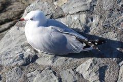 Seagullfågel Arkivfoton