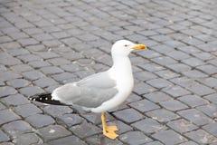 Seagullfågel i Italien Arkivbilder
