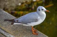 Seagullfågel på land Royaltyfri Bild