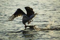 Seagullfågel som fångar en and Arkivbilder