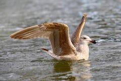 Seagullfågel på floden Arkivfoton