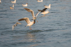Seagullfigth Arkivbilder