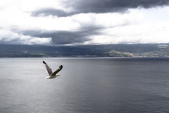 Seagullfluga Royaltyfri Foto