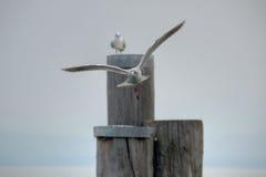 Seagullflyg Royaltyfri Foto