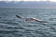 Seagullflyg. Arkivfoto