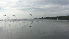 Seagullflyg, fyndmat inget ljud stock video