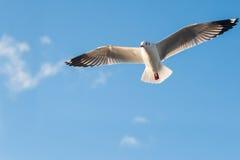 Seagullflyg i blåttskyen Arkivfoto
