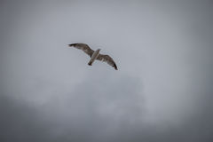 Seagullflyg i en grå himmel Royaltyfria Foton
