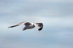 Seagullflyg i himlen Arkivfoto