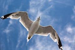 Seagullflyg i himlen Royaltyfria Foton