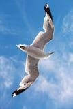 Seagullflyg i himlen Arkivbild