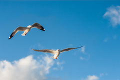 Seagullflyg i skyen Royaltyfria Bilder