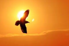 Seagullflyg in i solnedgången Arkivbild