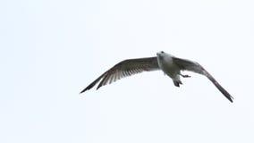 Seagullflyg med ett benbrott Royaltyfria Bilder