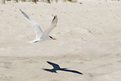 Seagullflyg med skugga på strand arkivbild