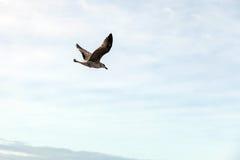 Seagullflyg på kusten Arkivbilder