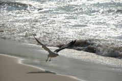 Seagullflyg på strand Arkivbild