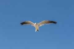 Seagullflyg som är över huvudet mot en blå himmel Fotografering för Bildbyråer