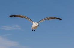 Seagullflyg som är över huvudet mot en blå himmel Royaltyfri Fotografi