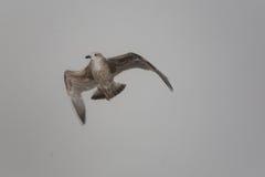 Seagullflying Lizenzfreies Stockbild
