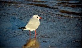 Seagullfoder nad kopplar av vid aftonljus royaltyfri foto