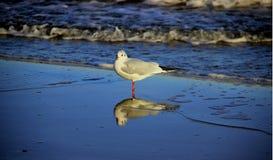 Seagullfoderfrihet av djurliv arkivbild