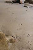 Seagullfotspår på stranden Arkivbild