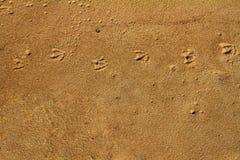 Seagullfotspårspår på en sand Royaltyfri Fotografi