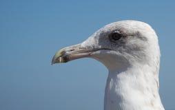 Seagullhuvud på blå bakgrund Royaltyfri Bild