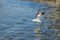 Seagulljaktfisk Fotografering för Bildbyråer