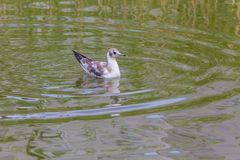 Seagulll στο νερό Στοκ φωτογραφίες με δικαίωμα ελεύθερης χρήσης