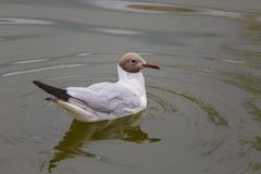 Seagulll στο νερό στοκ εικόνα με δικαίωμα ελεύθερης χρήσης