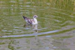 Seagulll på vattnet Royaltyfria Foton