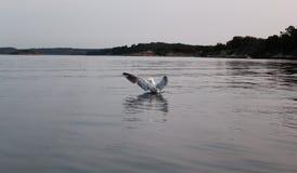 Seagulllandning i havet arkivbild