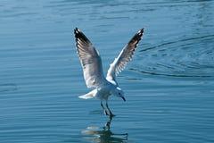 Seagulllandning med vattenreflexioner Arkivfoto