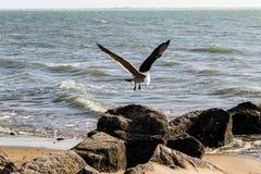 Seagulllandning på vaggar arkivbilder