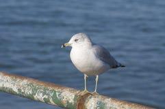 SeagullLarusdelawarensisen sätta sig på en räcke längs den Nantasket stranden i skrovet, MOR Arkivfoto
