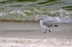 Seagulllek i vågorna Arkivfoto