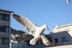 Seagullls, Кейптаун, Южная Африка Стоковое фото RF