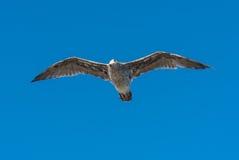 Seagullpussel över en människa Arkivfoton