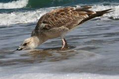 seagullsökande Royaltyfri Foto