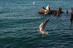 Seagulls är på och över havsvatten arkivfoto