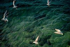 Seagulls är på och över havsvatten arkivbild