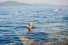Seagulls äter smällare Arkivbilder
