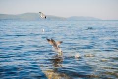 Seagulls äter smällare Arkivbild