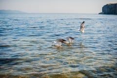 Seagulls äter smällare Fotografering för Bildbyråer