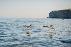 Seagulls äter smällare Arkivfoto