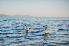 Seagulls äter smällare Royaltyfria Bilder